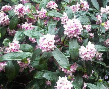 沈丁花とカラオケ